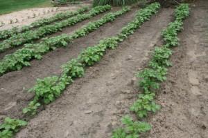 Emergency Food in Your Garden