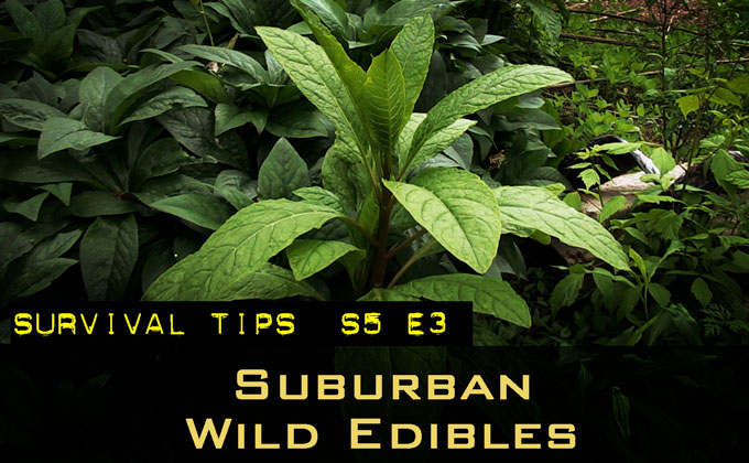 7 Wild Edibles Around Your House